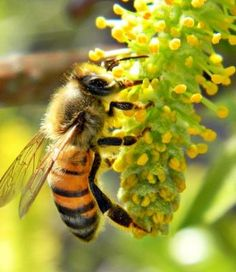 Learn about Types Of Bees On The Basis Of Species or Apiary, Gender, & Habit Of Stinging. Find here different species of bees and their behavior. Remedies For Bee Stings, Flying Ants, How To Kill Bees, Bee Friendly Plants, Types Of Bees, Foto Macro, Save The Bees, Busy Bee, Bee Happy