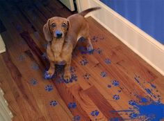Dachshund walking through blue paint leaving blue pawprints Funny Animal Pictures, Dog Pictures, Funny Animals, Cute Animals, Random Pictures, Dog Photos, Very Cute Puppies, Cute Dogs, Dogs And Puppies