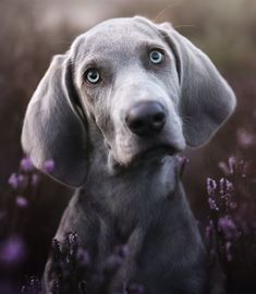 KlischKlick dog photography Weimaraner puppy Dog Pictures, Animal Pictures, Cute Puppies, Cute Dogs, Weimaraner Puppies, Beagle, Hunting Dogs, Cool Pets, Dog Portraits