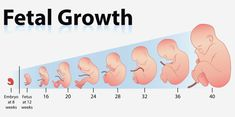 Prenatal care involves measuring fetal length and weight to check if pregnancy is going well. Here is fetal growth chart to measure fetal length and weight. Fetal Growth Chart, Amniotic Fluid, Weight Charts, First Trimester, Pregnancy Trimester Chart, Baby Development, Pregnancy Development, Baby Grows