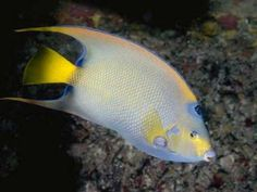 This yellow fish loves to live in deep water.