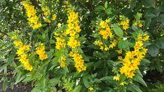 Ti tips til vakre roser Bookstagram, Planters, Herbs, Tips, Nature, Herb, Plant, Window Boxes, Pot Holders