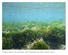 スペイン、バレアレス諸島の海洋性植物「ポシドニア・オセアニア・シーグラス」(10万歳) The Oldest Living Things in the World