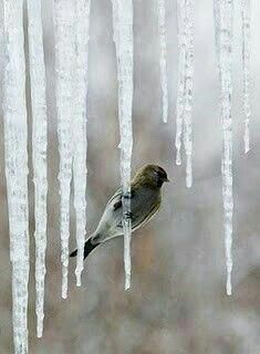 Icicle and winter bird Winter Szenen, I Love Winter, Winter Magic, Winter Holiday, Winter White, Winter's Tale, Snow And Ice, Winter Beauty, Bird Feathers