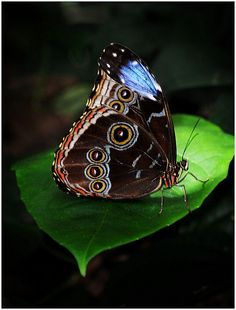 blue morpho....wings up