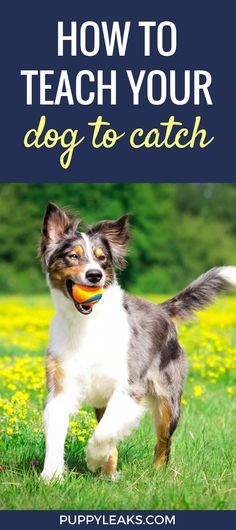 How to teach your dog to catch. Simple methods and tips for teaching your dog to catch. via @jenjelly