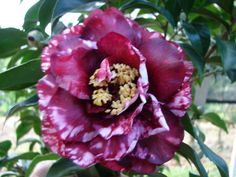 Camellia japonica 'Cherries Jubilee Var.' photo from Randolph Maphis