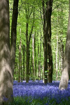 Blue beyond... | Bluebells, Westwood, Wiltshire. The smell w… | Flickr