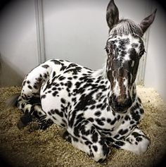 Gorgeous Laying Down Black Leopard Appaloosa Foal. Please also visit for colorful, inspirational art and stories. Pretty Horses, Horse Love, Beautiful Horses, Animals Beautiful, Leopard Appaloosa, Appaloosa Horses, Animals And Pets, Baby Animals, Cute Animals