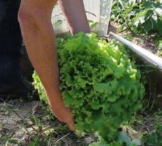 My secrets to get huge organic salads in 7 steps! My batavia near a standard 13 liter watering can! 1 – Sowing Sow 7 to 8 salad seeds in each pot and cover with of soil For my part I sow about 12 pots every 15 … Potager Bio, Potager Garden, Garden Trellis, Organic Gardening, Gardening Tips, Permaculture Design, Wie Macht Man, Nature Plants, Potting Soil