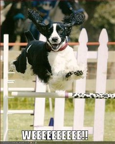 I've got a picture of Maggie that looks almost just like this LOL English Springer Spaniel springing.