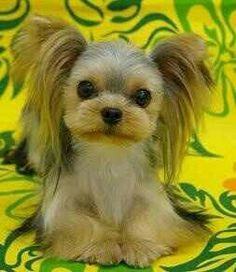 Hair cut and grooming styles for Yorkies, Yorkshire terriers - This information is designed to help Yorkie owners find a hair style they would like for their Yorkie so they can take a picture or pictures to their groomer. Dog Grooming Styles, Pet Grooming, Yorkshire Terriers, Yorkshire Terrier Haircut, Yorkies, Havanese Dogs, Cute Puppies, Cute Dogs, Yorkie Cuts
