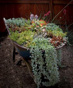 This old wheelbarrow makes a great home for this colorful bunch of succulents living in Circle C. Inspiration: Native Edge Landscape, LLC