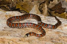 Lampropeltis pyromelana knoblochi; Mountain Kingsnake