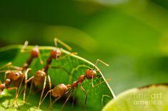 Resultado de imagem para ants team work