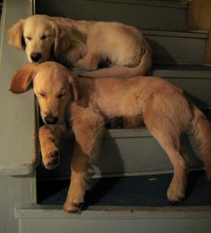 Two golden retriever puppies