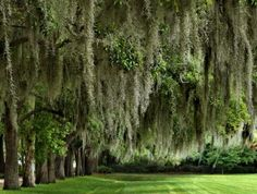 Spanish Moss, Savannan Plantation, Georgia - Marylee.
