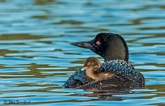 Love the sight and sound of loons.