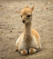 Image result for vicuna