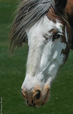 Clydesdale | Flickr - Photo Sharing!