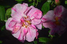 Apteekkarin ruusu