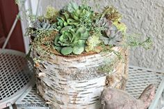 Birch Log Succulent Centerpiece :: Hometalk