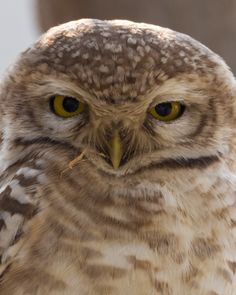 Spotted Owlet  Canon EOS-1D Mark IV + Sigma 150-600 C