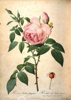 Items similar to Redoute Rose Print - Rosa Indica fragrans - 1978 Vintage Flowers Book Print - 11 x 9 on Etsy Illustration Botanique, Botanical Illustration, Vintage Botanical Prints, Vintage Prints, Decoupage, Impressions Botaniques, Joseph, Plant Pictures, Botanical Flowers