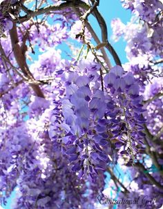 Wisteria, makes me think of NC and GA time and travels - love the aroma of this flower