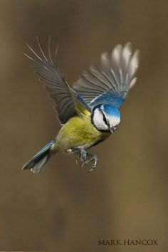 Tits and Garden Birds - Mark Hancox Bird Photography