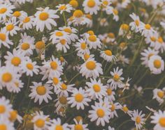 White and Yellow, Daisies, floral print, fine art photography, flower art, flower photography, nature photography, wall decor, room decor