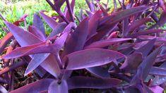 Tradescantia Pallida Purple Heart Plant Out/indoor Purple Wandering Jew 12 Pcs Purple Perennials, Flowers Perennials, Planting Flowers, Tropical Landscaping, Tropical Garden, Tropical Plants, Purple Heart Plant, Purple Plants, Full Shade Plants
