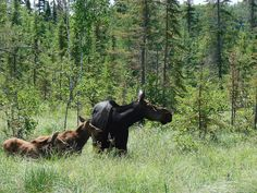 Moose and babies in the BWCA (Photo by johnstryker1 via Flickr)
