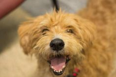 Meet Logan, a Petfinder adoptable Terrier Dog | Puyallup, WA | Logan is a calm, 7 year old terrier mix in search of a place to call home. Logan is sweet as can be...
