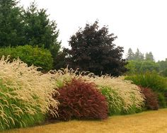 Ornamental grasses as a natural fence/privacy screen in the back yard
