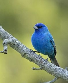 Indigo Bunting, a more beautiful blue I've never seen!