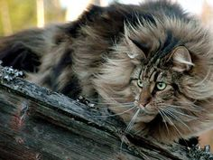 The official state cat of Maine is -- you guessed it -- the Maine Coon. This plus-size cat, adorned with a beautiful neck ruff, dainty britches, tufted feet that resemble snowshoes and a big, bushy tail that he can wrap around himself when he naps is likely the oldest cat breed native to America.