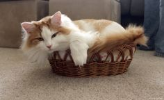 Cat Forced to Downsize to Smaller Basket
