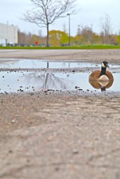 Canada goose relaxing in a driveway pothole