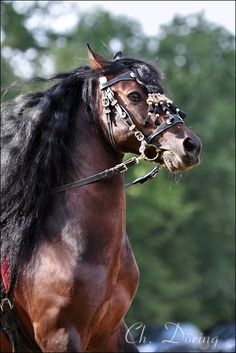 Andalusian  Caballo Pre...Magnificent✫¸¸.·´¯`✫