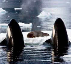 Killer Whales and a Weddell Seal- Antartica