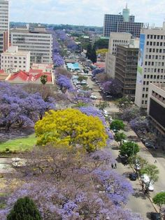 Jacarandas in Harare, Zimbabwe, Africa. Travel to Zimbabwe with INSPIRATION ZIMBABWE, your boutique Destination Management Company (DMC) for all inbound travel to Zimbabwe, Africa. INSPIRATION ZIMBABWE is a member of GONDWANA DMCs, a network of boutique DMCs across Africa and beyond. https://flightstoafrica15.wordpress.com/2015/08/08/tour-groups-in-harare-zimbabwe/ Pin repinned by Zimbabwe Artisan Alliance.