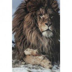 Proud Lion - 180 x 120 cm