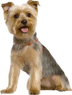 Bred in Australia from the Yorkshire Terrier and Blue and Tan Australian Terrier, the Silky Terrier was singled out as her own breed. Silky Terrier, Yorshire Terrier, Bull Terriers, Yorkies, Yorkie Puppy, Yorkie Cut, Maltipoo, Yorkshire Terrier Haircut, Yorkshire Terrier Puppies