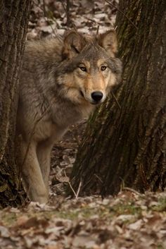 It is not surprising many European settlers were frightened . They had bought to America centuries of superstitions that had resulted in the mass extermination of the wolf in Britain and Europe. .