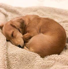 Dachshund #dachshund