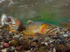 A Good Catch. Photograph by Charlie Hamilton James - Cutthroat trout, seen here spawning in the Gros Ventre River in Wyoming, are highly prized by anglers. Adapted to cold water, they're threatened by a warming climate and in Yellowstone Lake, by non-native lake trout