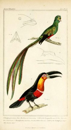 Trogon and Toucan - Cuvier Day
