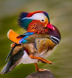 Mandarin High Step by Don Holland - Animals Birds Pretty Birds, Beautiful Birds, Animals Beautiful, Cute Animals, Beautiful Chickens, Canard Mandarin, Mandarin Duck, Exotic Birds, Colorful Birds