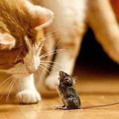 Pets Home Do you think the mice is asking the cat to go to the prom with him ? That's how I felt when I was 16 …. I Love Cats, Crazy Cats, Cute Cats, Funny Cats, Animals And Pets, Baby Animals, Funny Animals, Cute Animals, Beautiful Cats